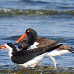 Black skimmer and American oystercatchers