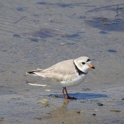 Piping plover Flagged  H3J